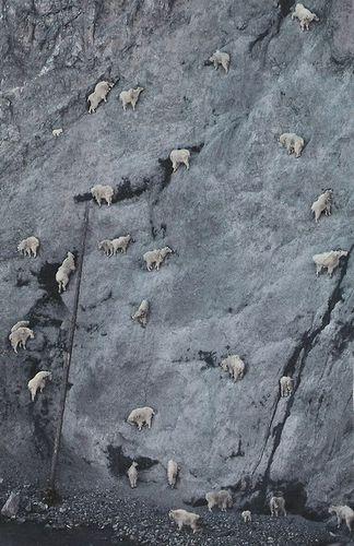 ヤギの崖を登る能力09
