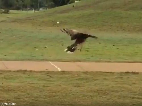 ゴルフボールを拾った鳥04