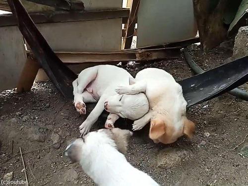 ハンモックで眠る子犬たち00