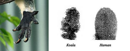 コアラの指紋03