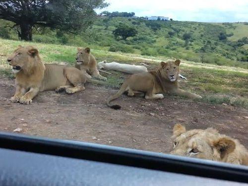 サファリパークでライオンがドアを開けた01