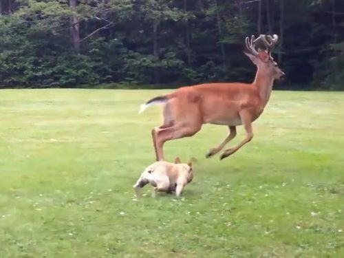 鹿とブルドッグ01