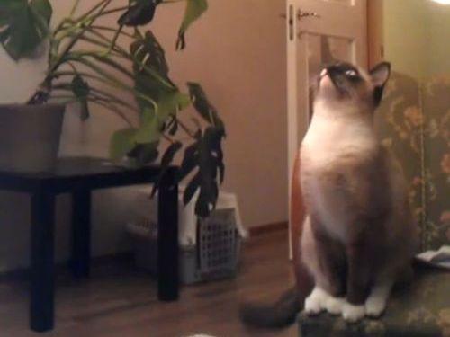 猫が天井に向かってジャンプ01