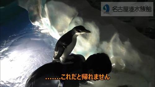 懐きすぎ!飼育員さんにベッタリのペンギン05