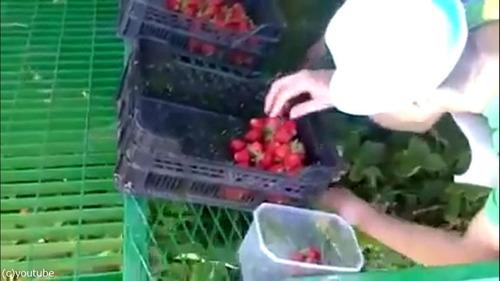 イチゴ収穫マシーン05