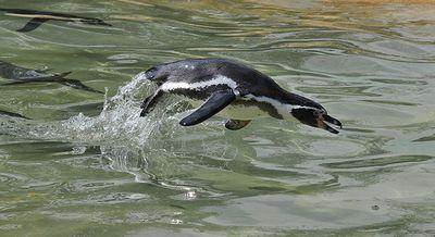ペンギン16