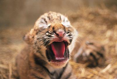 虎の子13