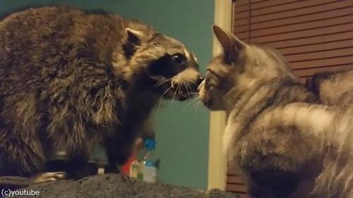 遊んでほしいアライグマVSクールな猫01