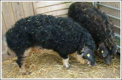 豚と羊の交配種02