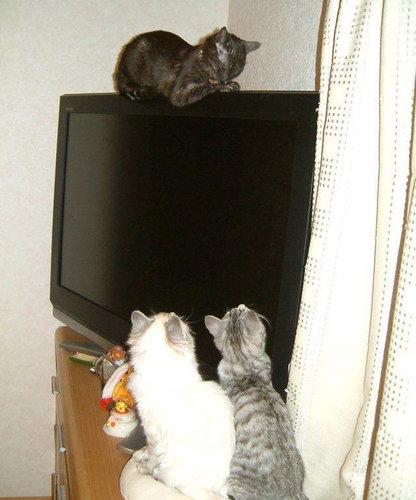 テレビを見るのを邪魔する猫09