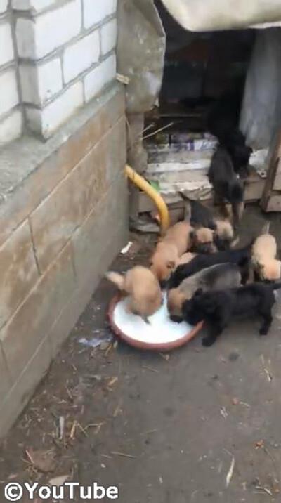 ボウルいっぱいのミルクに集まる子犬たち!焦り過ぎて…02