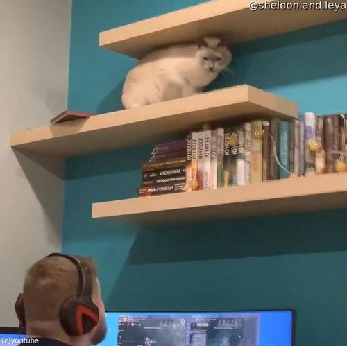 頭上の棚から物を落とす猫06