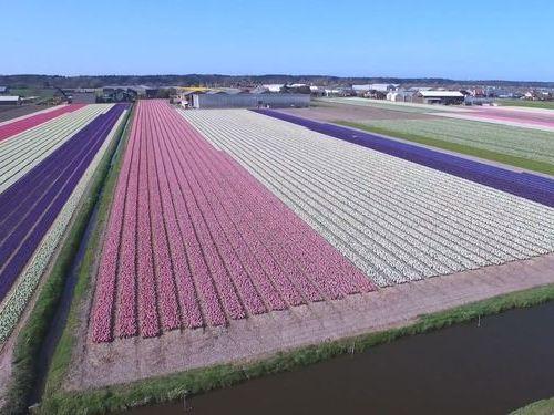 オランダのお花畑をドローンで上空から撮影01