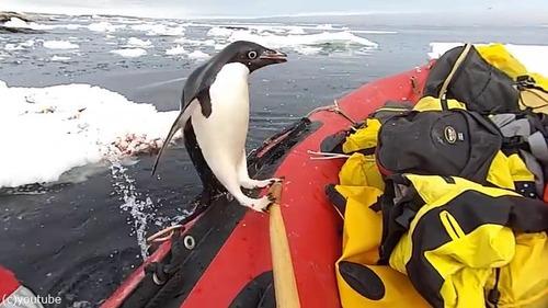 ペンギン「間違えました」02