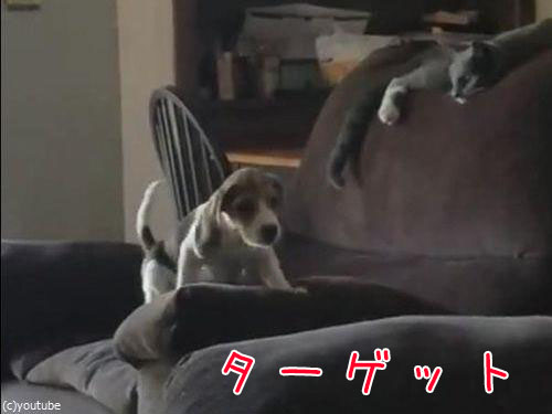 隣のソファーに飛び移ろうとする犬00