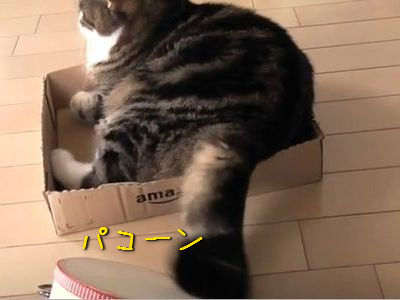 タンバリンを叩く猫