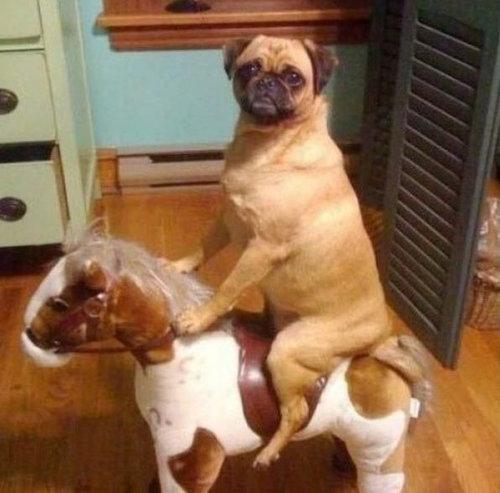 馬に騎乗する犬08