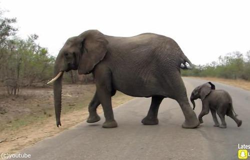赤ちゃんゾウを守る母親ゾウ09