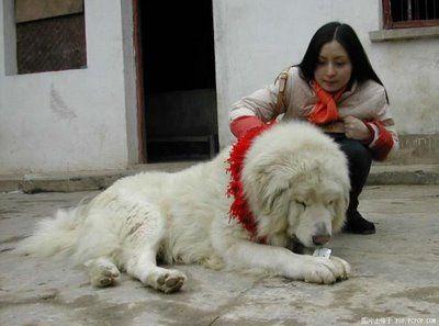 ライオンみたいなチベットの犬04