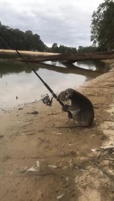 一体なぜ? 釣りを楽しむコアラが発見される01