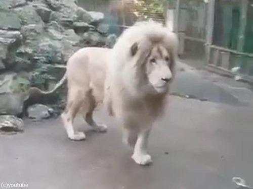 シャボン玉を見たライオンのリアクション02