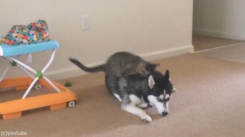 犬の背中に飛び乗ろうとする猫01