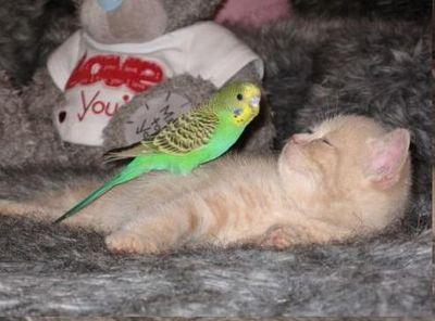 破壊力抜群の猫とインコ画像04