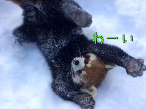 雪ではしゃぐレッサーパンダ00