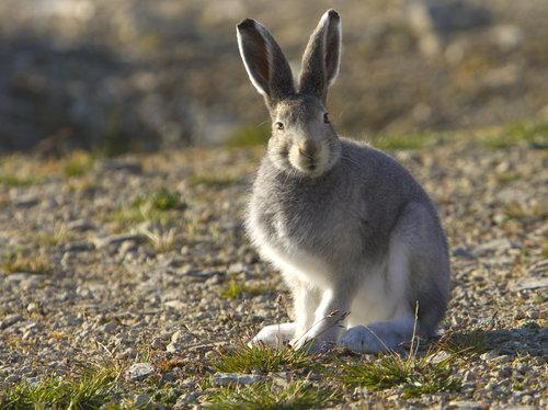 北極ウサギ05