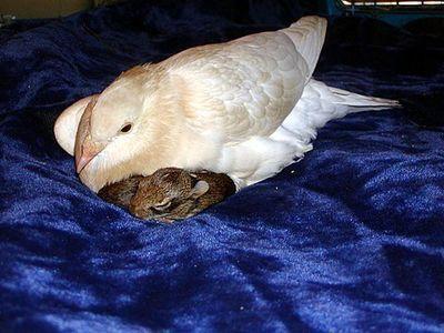 片足のハトがウサギを育てる00