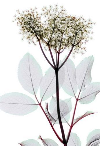 花のレントゲン06