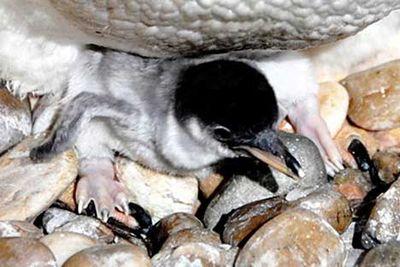 ペンギンのヒナが卵から出てくる一部始終04