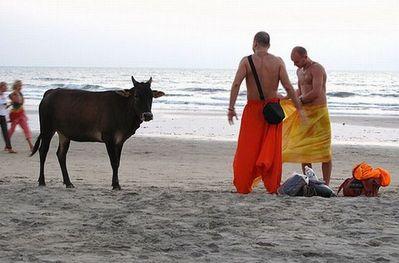 リゾート・ビーチに牛16