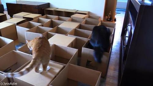 猫2匹にダンボール迷路をプレゼント04