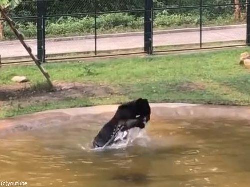 保護されたクマ、初めてのプール06
