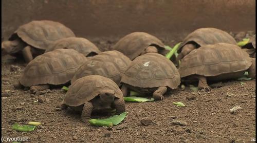絶滅を救ったガラパゴスの「絶倫」亀が引退04