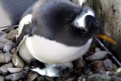 ペンギンのヒナが卵から出てくる一部始終03