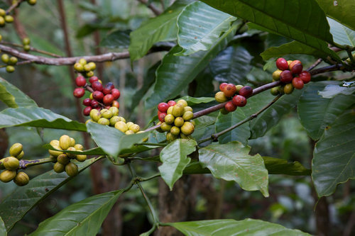 コーヒーの花07