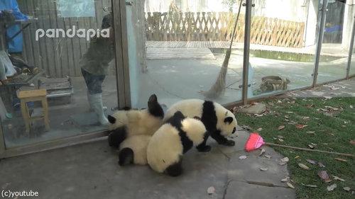 子パンダたちの前で掃き掃除01
