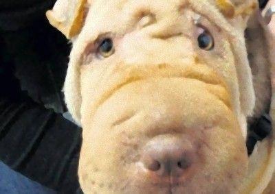 盲目の犬に整形手術01