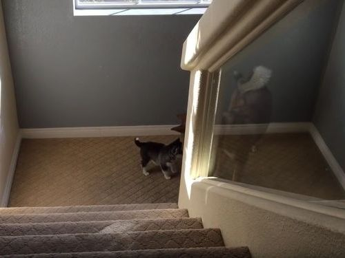 ハスキーの子犬と階段08
