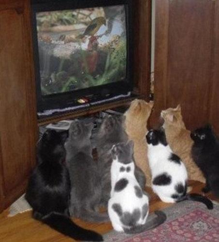 テレビを見るのを邪魔する猫06