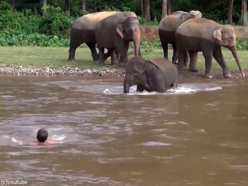 川に流された人間を助ける子ゾウ01