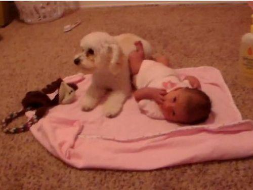赤ちゃんを守るトイプードル01