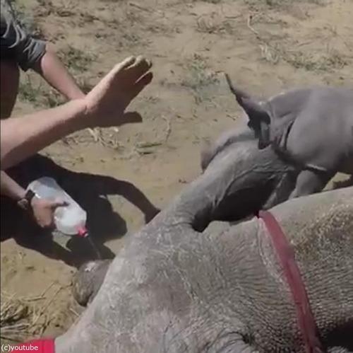 サイの赤ちゃんがママを守る05