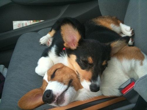 寝てるコーギー犬19