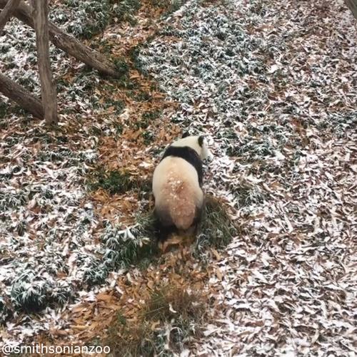 雪遊びパンダ01