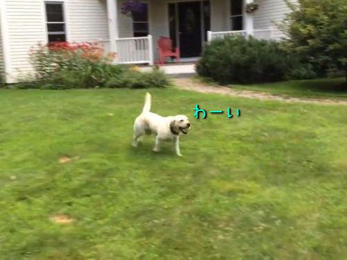 ボール遊びしたあとのポーズが変な犬00