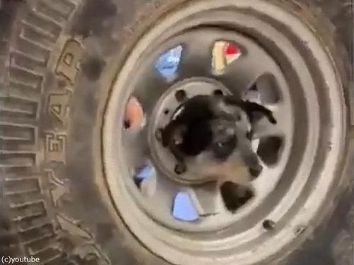 子犬の頭が車のホイールから抜けなくなっちゃった…03