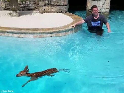 プールの奥に子鹿がいる05